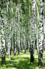 Fototapeta Brzoza Pathway in sunny birch grove of summer july