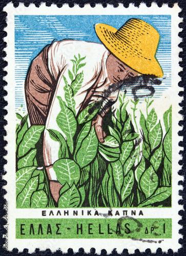 Fotografia  Farmer tending tobacco plants (Greece 1966)