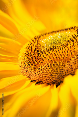 sunflowers closeup - 54651811