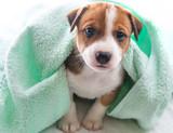 Mały piesek pod ręcznikiem