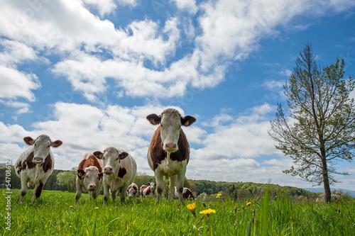 Papiers peints Vache Troupeau de vaches
