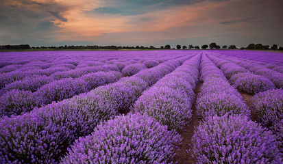 Obraz na Szkle Fields of Lavender at sunset