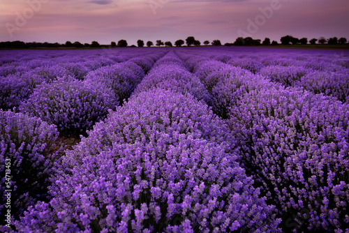 Deurstickers Snoeien Fields of Lavender at sunset