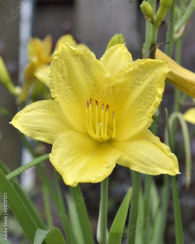 A close up of a yellow day lily