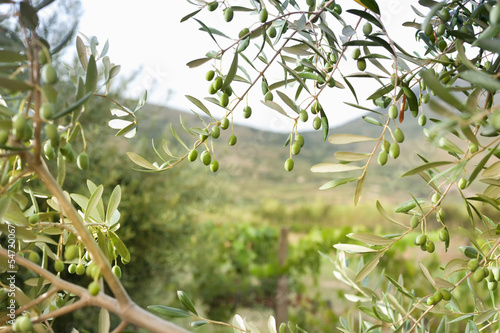 Tuinposter Olijfboom Detail of olive tree with green olives
