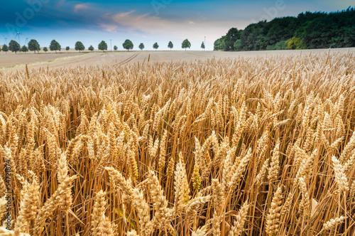 Getreidefeld Fotobehang