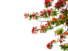 Flame Tree Or Royal Poinciana Tree On White Background