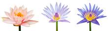 Lotus Flower Isolated