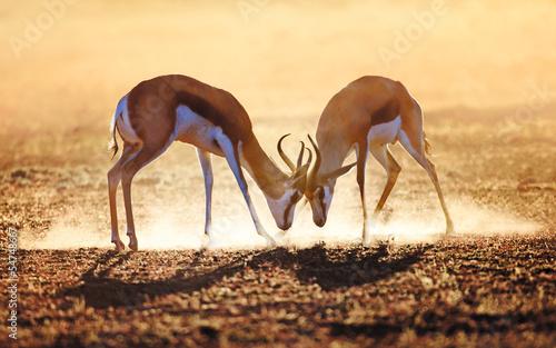 Poster Antilope Springbok dual in dust