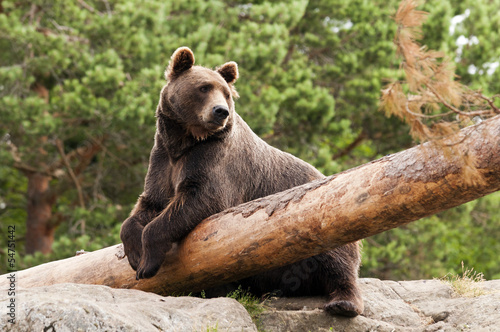 Fototapeta Brown bear