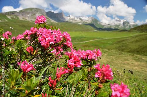 Mountain Azalea, Switzerland
