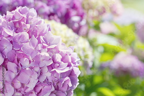Pink hydrangea flowers with summer sunlight