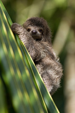 Baby Three-toed Sloth In Costa...
