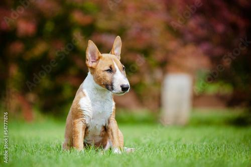 Fotografia english miniature bull terrier puppy