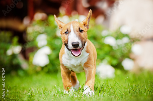 Canvas adorable miniature english bull terrier puppy