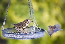 Song Thrush And Wren At Bird Feeder