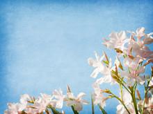 Light Pink  Flowers Of Oleander  On Blue Paper Background