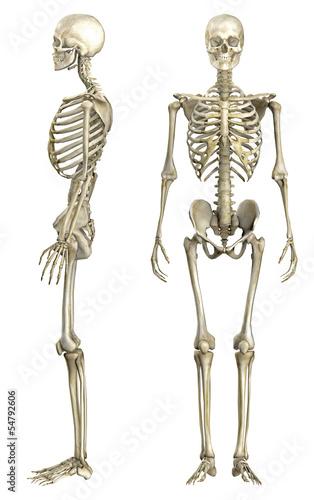 Anatomische Darstellung menschliches Skelett 1 – kaufen Sie diese ...