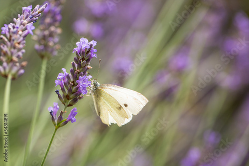 Fototapety, obrazy: Cabbage White and Lavender