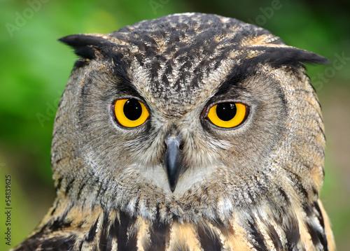 Spoed Foto op Canvas Uil Eagle Owl, Bubo bubo