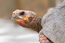 Cherry Head Red Foot Tortoise