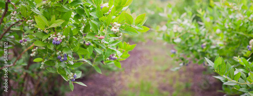 Slika na platnu borówka amerykańska krzak gałąź liść uprawa