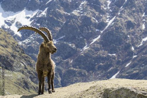 Fotografie, Tablou stambecco, Parco Nazionale Gran Paradiso, Italia