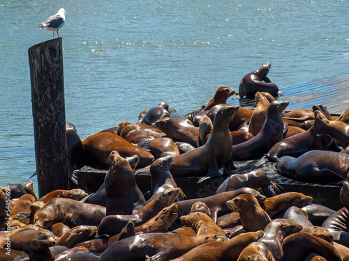Poster The Sea Lions of Pier 39 in San Francisco California USA