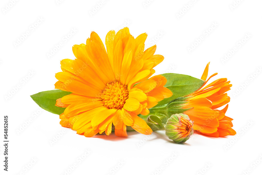 Fototapety, obrazy: Calendula officinalis