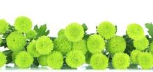Beautiful Green Chrysanthemum ...