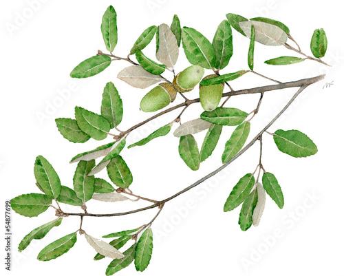 Fotografia, Obraz  Leccio - Quercus ilex