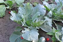Green Cabbage (Brassica Oleracea) On Vegetable Garden Bed