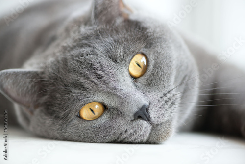 Obraz close-up of snout of gray british cat - fototapety do salonu