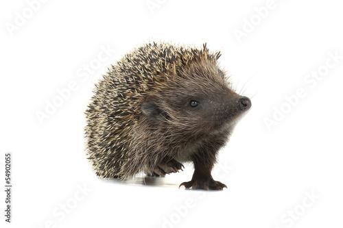 Foto op Canvas Eekhoorn hedgehog
