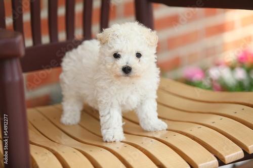 Fotografija Bichon Frise Puppy on Wooden Chair