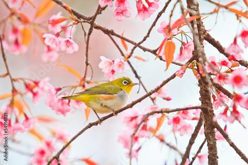 bialoskrzydly-ptak-i-kwiat-wisni-lub-sakura