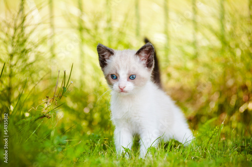 Fotografía  siamese kitten with blue eyes portrait outdoors