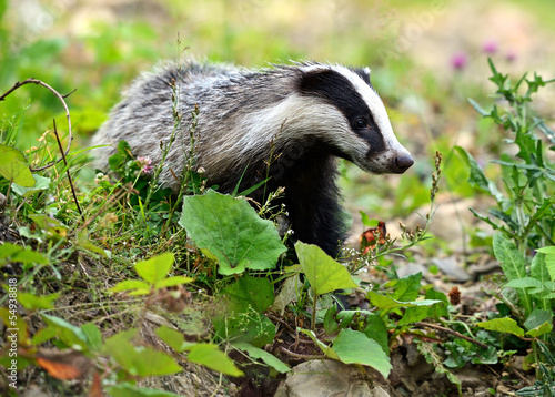 Photo Badger