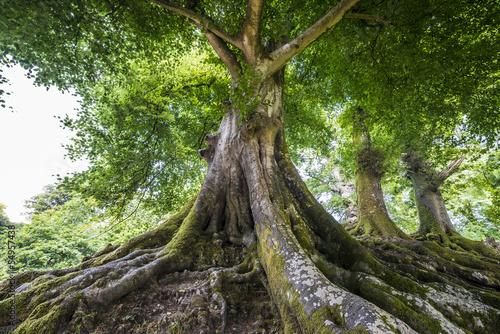 Fototapeta big old tree obraz