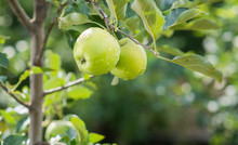 Green Apples On A Branch In An Orchard