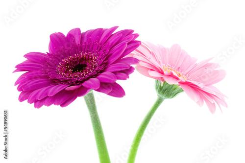 Foto op Aluminium Gerbera two gerbera flowers