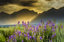 Purple Lupines In The Tetons