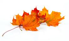 Maple Autumn Leaves Isolated On White Background