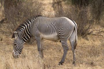 Panel Szklany Zebry Lone Grevy´s zebra stallion