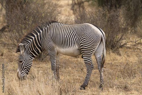 Lone Grevy´s zebra stallion - 55035849