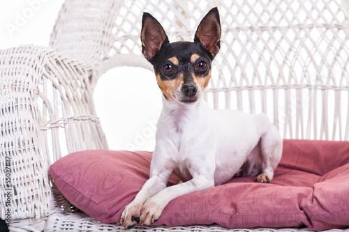 Fototapeta Toy Fox Terrier obraz na płótnie