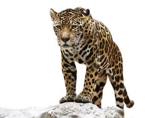 Fototapeta leopard on the rock
