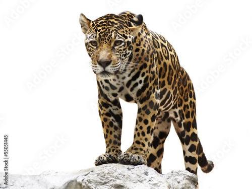 Deurstickers Luipaard leopard on the rock