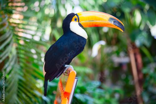 kolorowy-tucan