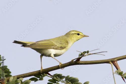 Foto wood warbler in natural habitat / Phylloscopus sibilatrix